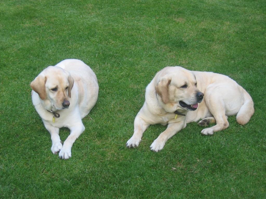 Dubai Testimonial ABVC dogs