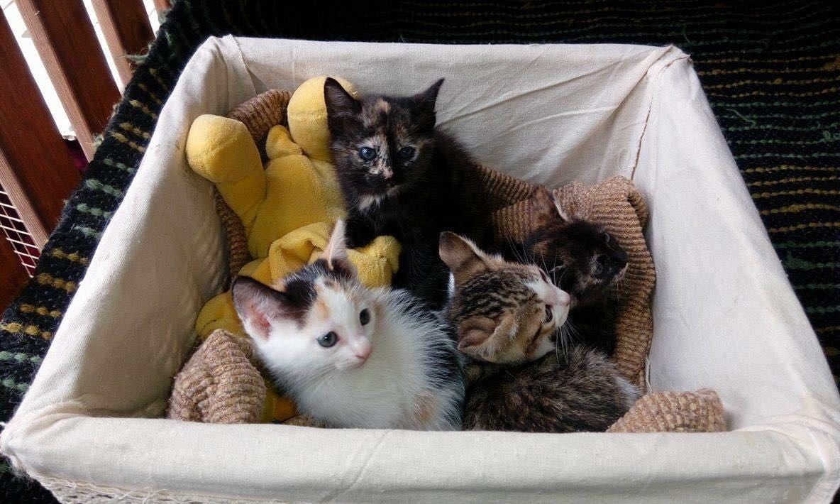 Kittens For Adoption In Free Enclosure At Abvc
